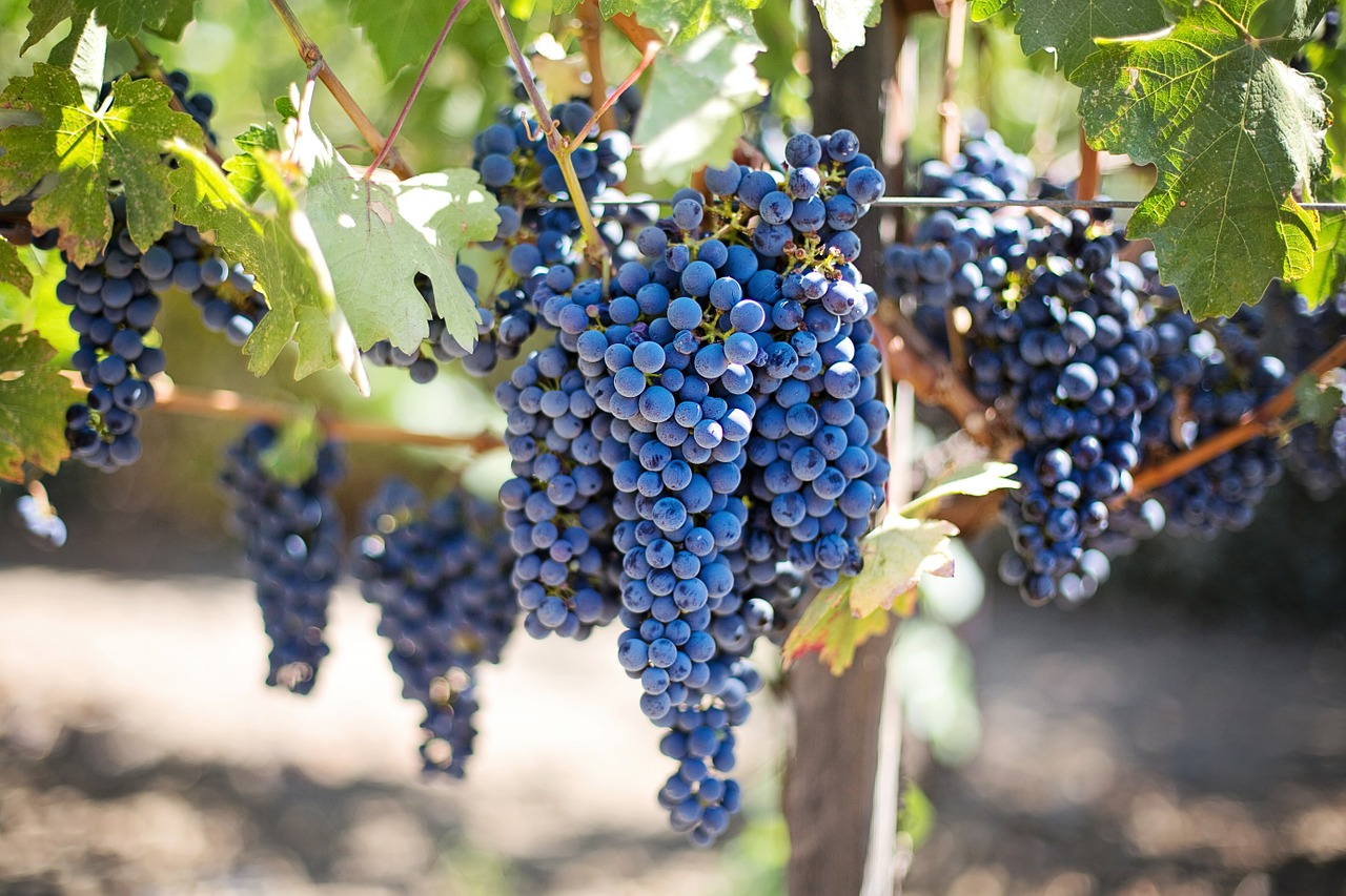 grapevine life cycle: summer, with ripe grapes